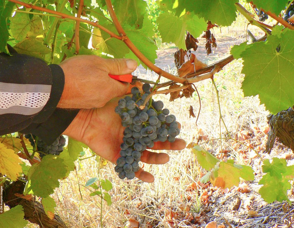 Grappe, vignoble de Marcillac © ZM Aveyron Images
