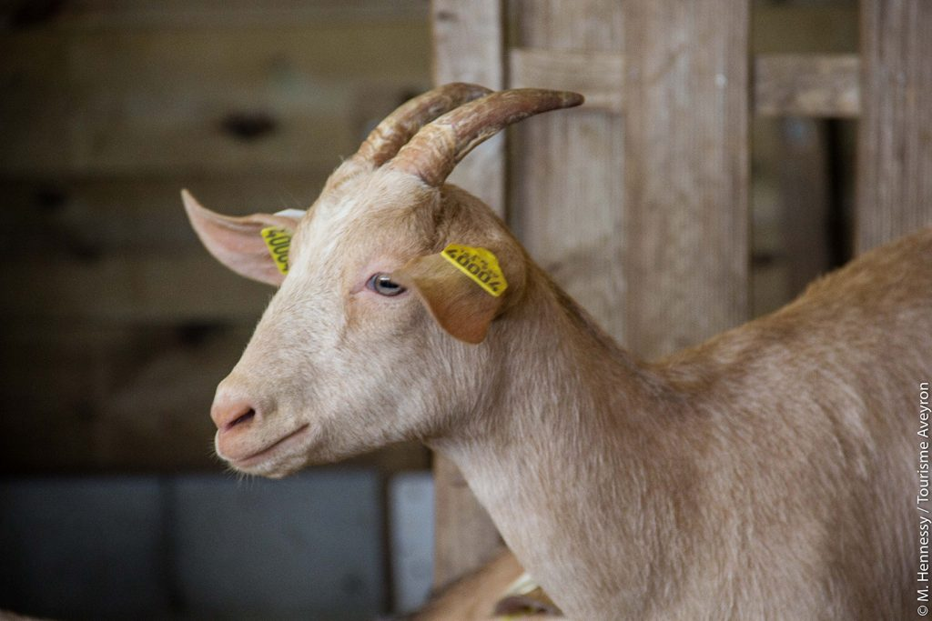 Chèvre, Ferme de Falgayroles, Aveyron © M. Hennessy / Tourisme Aveyron