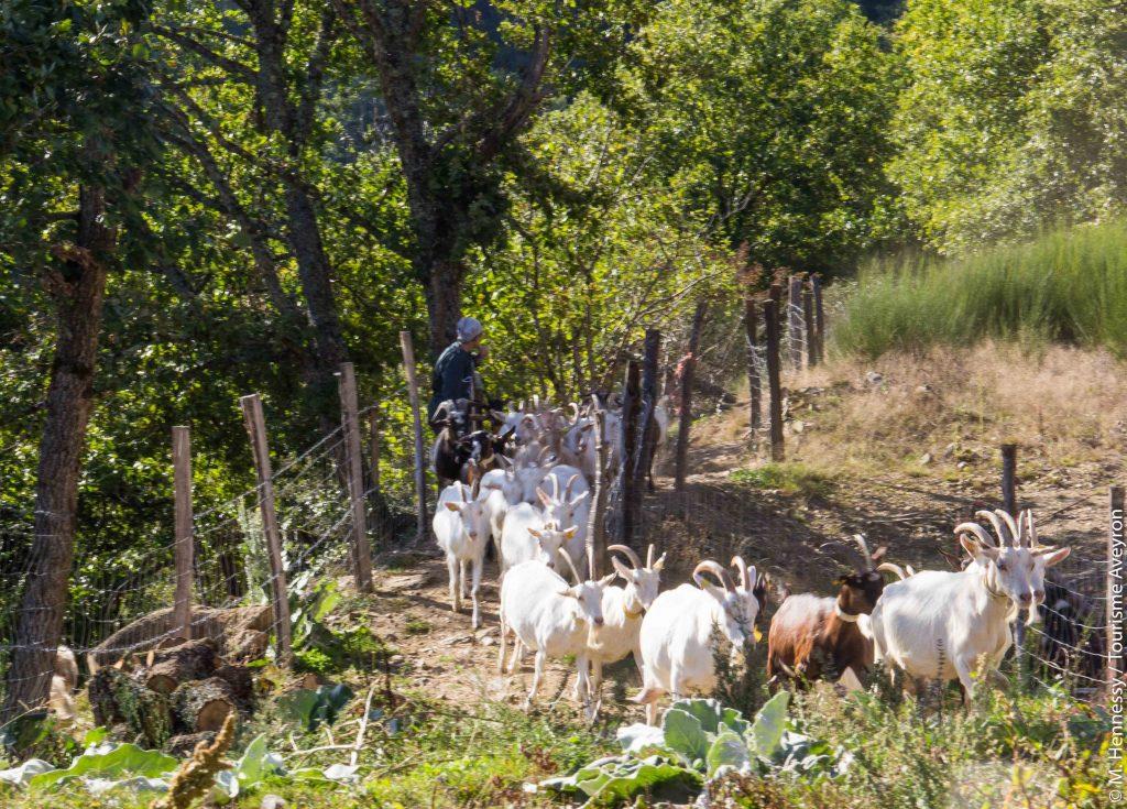 Chèvres, Ferme de Falgayroles, Aveyron © M. Hennessy / Tourisme Aveyron