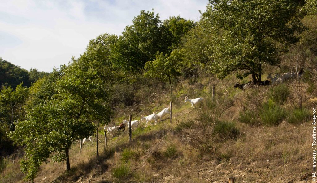 Chèvres Ferme de Falgayroles, Aveyron © M. Hennessy / Tourisme Aveyron