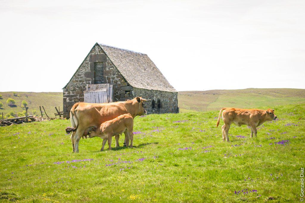 Vaches Aubrac et buron, Aveyron